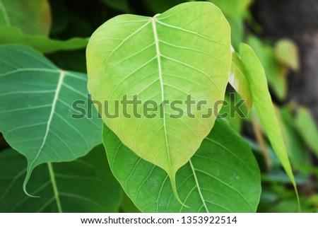 Green leaf Pho leaf, (bo leaf,bothi leaf) #1353922514