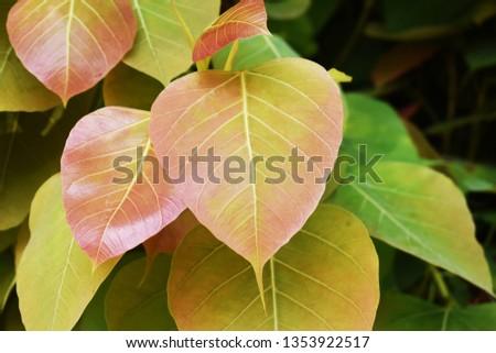 Green leaf Pho leaf, (bo leaf,bothi leaf) #1353922517