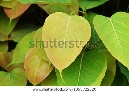 Green leaf Pho leaf, (bo leaf,bothi leaf) #1353922520