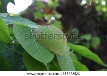 Green leaf Pho leaf, (bo leaf,bothi leaf) #1353922523