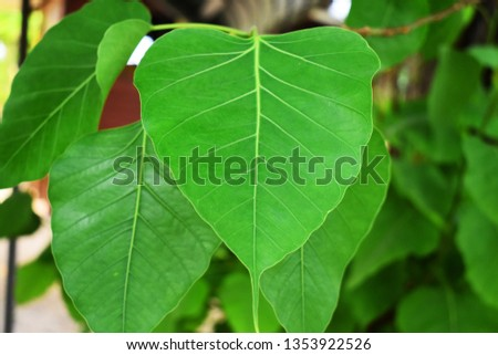 Green leaf Pho leaf, (bo leaf,bothi leaf) #1353922526