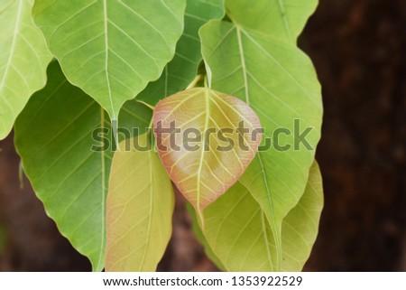 Green leaf Pho leaf, (bo leaf,bothi leaf) #1353922529