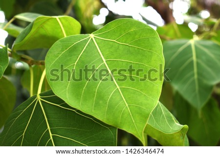Green leaf Pho leaf, (bo leaf,bothi leaf) #1426346474