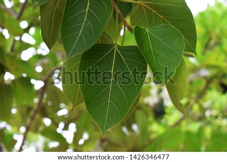 Green leaf Pho leaf, (bo leaf,bothi leaf) #1426346477