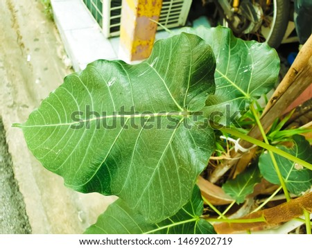 Green leaf Pho leaf, (bo leaf,bothi leaf) #1469202719