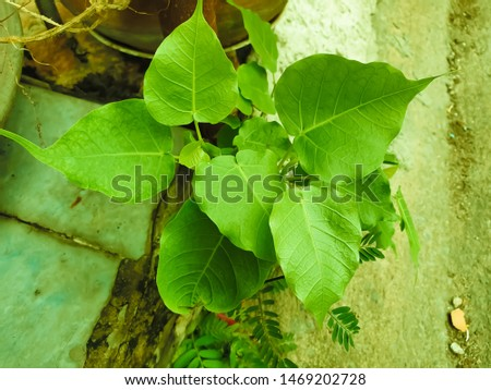 Green leaf Pho leaf, (bo leaf,bothi leaf) #1469202728