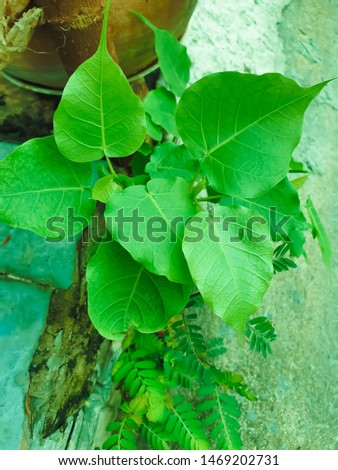 Green leaf Pho leaf, (bo leaf,bothi leaf) #1469202731