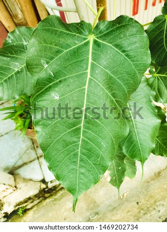 Green leaf Pho leaf, (bo leaf,bothi leaf) #1469202734