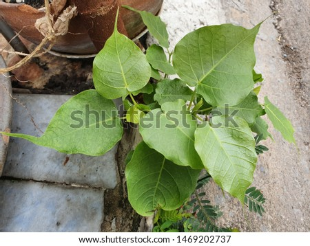 Green leaf Pho leaf, (bo leaf,bothi leaf) #1469202737