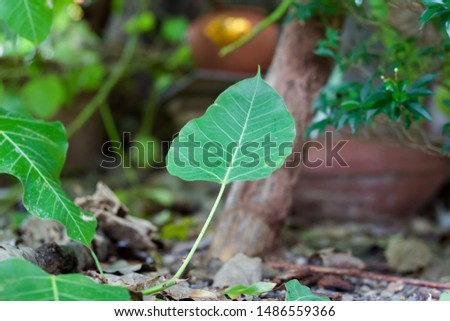 Green leaf Pho leaf, (bo leaf,bothi leaf) #1486559366
