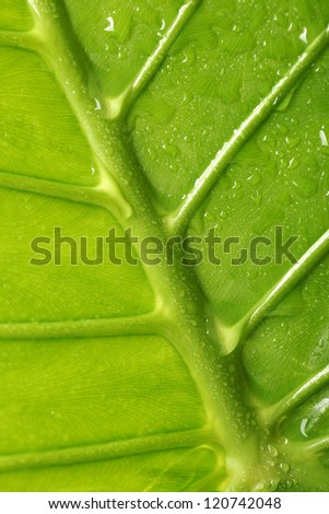 Green leaf texture background with fresh water droplets. Vibrant and textured closeup.