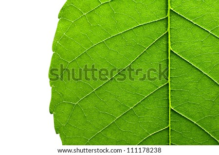 Green leaf texture closeup on white background