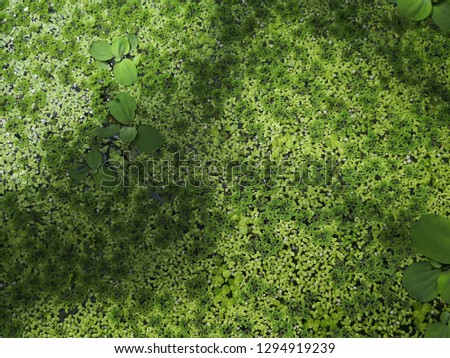 Green leaf texture: Duckweed or water lettuce is leaves natural background on water. Lemnoideae is floating pond plant.small aquatic plant.selective focus.Water lettuec, Aquatic Plant, #1294919239