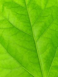 Green leaf texture, macro photo