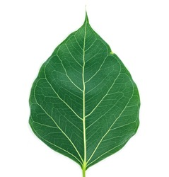 green leaf texture on white background.