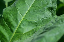 Green leaf tobacco on a background of blurred tobacco fields, close ups.  Tobacco plants grow in plantation fields.  Indonesian Central Java Temanggung, Raw Tobacco Leaf