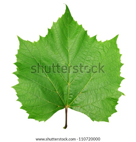 Green leaf vine isolated on white - stock photo