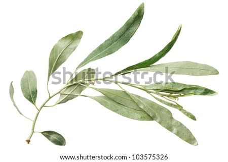 Green leaf willow isolated on white background