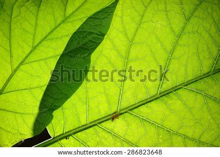 Green leaf with back lighting