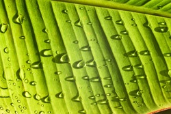 Green leaf with  drops of water. Dew on a leaf in the morning. Natural Water rain drop on leaf. Contrast green. Rainy day.(Close up green pattern leaves with water drop in a garden. leaf texture)