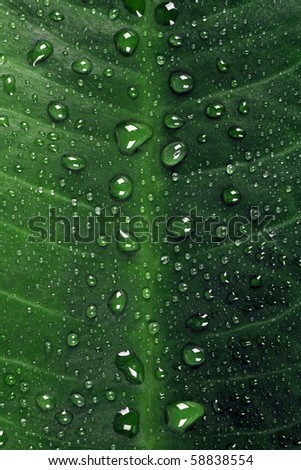 Green leaf with large drops after a rain
