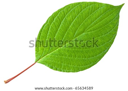 Green leaf with red stem. Isolated on white background.