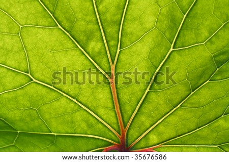 green leaf with red veins macro background