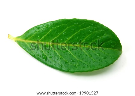 green leaf with water drops after summer rain isolated