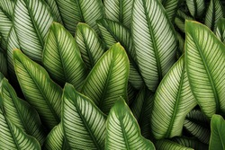 Green leaf with white stripes of Calathea majestica , tropical foliage plant nature leaves pattern on dark background.