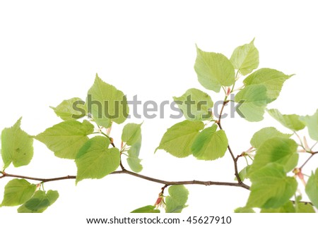 Backgrounds For Leaflets. stock photo : Green leaflets on a branch in a clear sunny day.