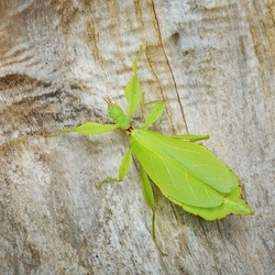 Green leaflike stick-insect Phyllium giganteum on a tree trunk in natural environment. Wildlife, biology, zoology, entomology, insects, nature, science, education, zoo laboratory