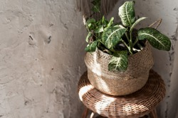 Green leafy houseplant in flower pot basket against white copy space wall, standing on chair in bright room with retro style interior
