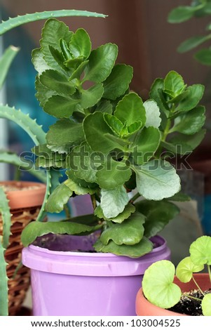 Green leafy houseplant potted into a purple flowerpot to help with air purification indoors through photosynthesis