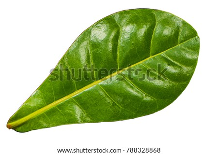 green leave. Close-up of leave isolated on white background in full depth of field with clipping