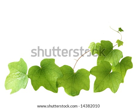 Green leave on the vine isolated on white background