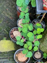 Green leave Stephania Erecta in pot