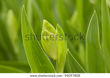Green leaves and a bud iris close-up