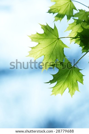 Green leaves and blue sky in spring