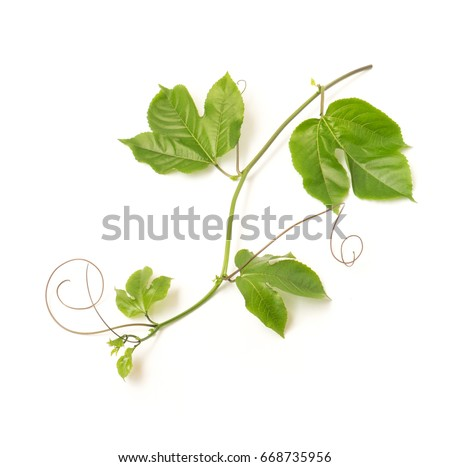 Green leaves and brace of passion fruit on white background