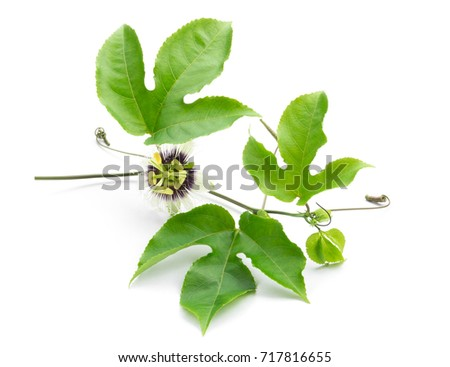 Green leaves and brace of passion fruit wiht flower on white background