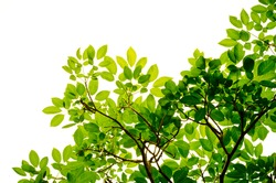 green leaves and branches on white background environment nature love earth concept for design and decoration