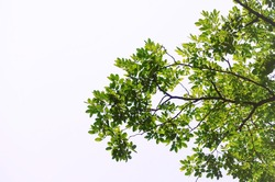 green leaves and branches on white background for abstract texture environment nature love earth concept for design and decoration