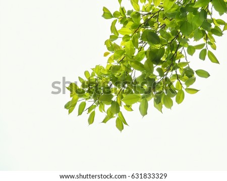 green leaves and branches on white background for abstract texture environment nature love earth concept for design and decoration #631833329