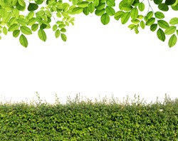 Green leaves and Green hedge isolated