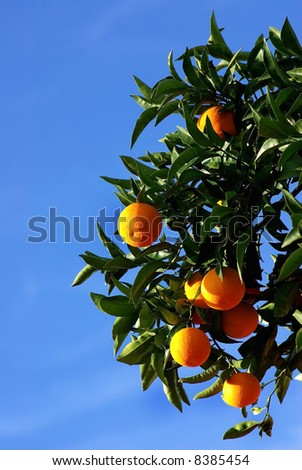 Green leaves and mature oranges on the tree.