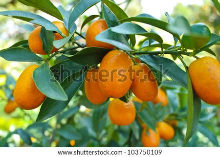 Green leaves and oranges on the tree