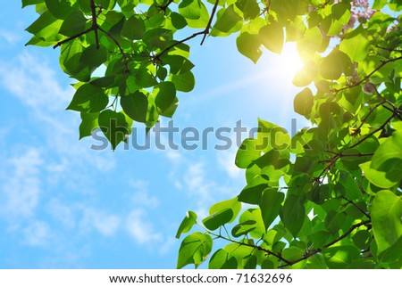 green leaves and sun on blue sky #71632696