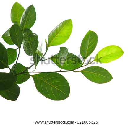 green leaves and tree branch isolated on white background