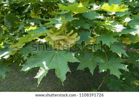 Green leaves and unripe samaras of Acer platanoides