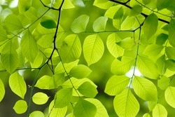 Green leaves background. Branch detail of an American Yellowwood showing the beautiful shape, leaf pattern and color of this native American tree in early spring.